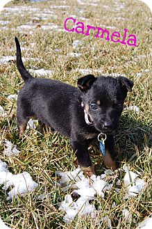 German Shepherd Dog/Rottweiler Mix Puppy for adoption in Franklinville, New Jersey - Nadia and Carmela