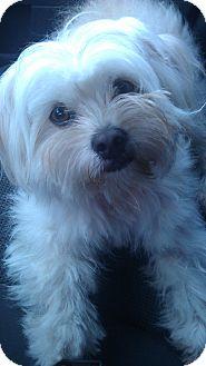 Maltese/Shih Tzu Mix Dog for adoption in South Gate, California - Cupcake