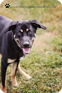 Shepherd (Unknown Type) Mix Dog for adoption in HARRISONVILLE, Missouri - Tyler