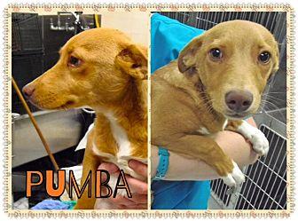 Chihuahua/Dachshund Mix Dog for adoption in Corpus Christi, Texas - Pumba