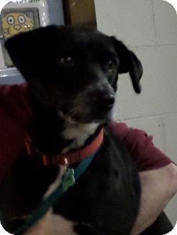 Labrador Retriever Mix Dog for adoption in Beacon, New York - Sissey