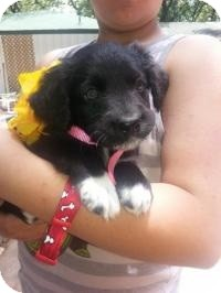 Retriever (Unknown Type)/Shepherd (Unknown Type) Mix Puppy for adoption in New Boston, New Hampshire - Valeri