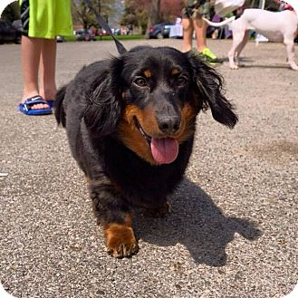 Dachshund Dog for adoption in Mentor, Ohio - BRUNO**3-4 YRS OLD!!