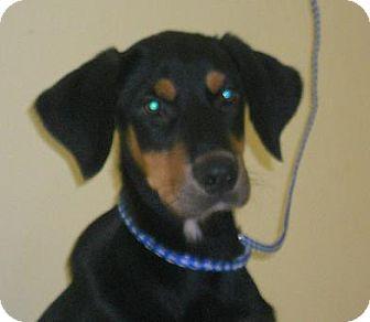 Doberman Pinscher Mix Puppy for adoption in Newburgh, Indiana - Nacho- Fun !