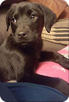Labrador Retriever Mix Puppy for adoption in Charlotte, North Carolina - Mary