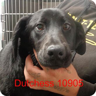 Labrador Retriever Mix Dog for adoption in Manassas, Virginia - Dutchess