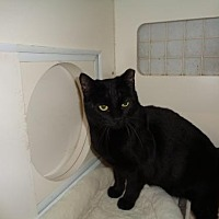 Bombay Cat for adoption in Golden Valley, Arizona - Arial