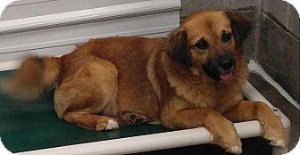 German Shepherd Dog/Collie Mix Dog for adoption in Sugar Grove, Illinois - Bayley