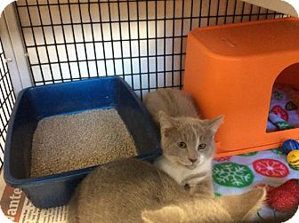 Domestic Shorthair Kitten for adoption in Janesville, Wisconsin - Dexter