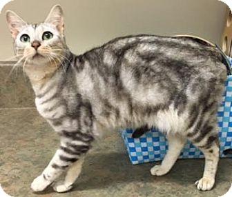 Bengal Cat for adoption in Davis, California - Cleo