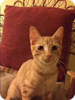 Domestic Shorthair Kitten for adoption in Gettysburg, Pennsylvania - Pumpkin