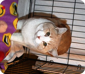 Domestic Shorthair Cat for adoption in Nolensville, Tennessee - Garfield