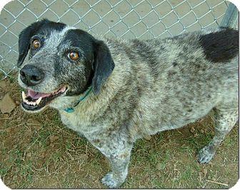 Australian Shepherd Mix Dog for adoption in Ocean Ridge, Florida - Sissy