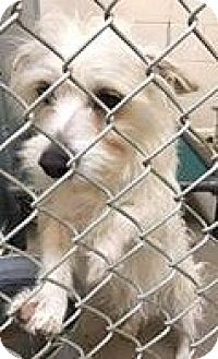 Maltese/Cairn Terrier Mix Dog for adoption in Boulder, Colorado - Austin-Adoption Pending