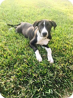 Border Collie Mix Puppy for adoption in Spring, Texas - Maggie