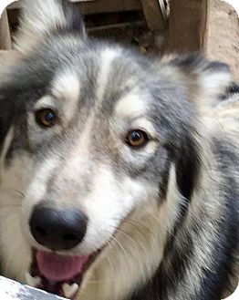 Siberian Husky Dog for adoption in Memphis, Tennessee - Haiku ~ GoofyGirl!