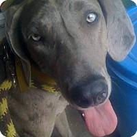 Adopt A Pet :: Greta (in adoption process) - El Cajon, CA
