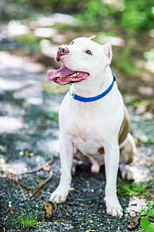 American Pit Bull Terrier/Terrier (Unknown Type, Medium) Mix Dog for adoption in Tinton Falls, New Jersey - LONDON