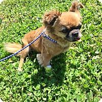 Adopt A Pet :: Lacey - Hillsboro, IL