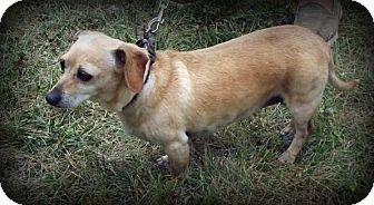 Dachshund/Chihuahua Mix Dog for adoption in Cabool, Missouri - Honey