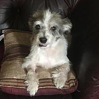 Adopt A Pet :: Comet III - Dallas, TX
