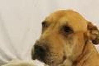 Shar Pei/American Pit Bull Terrier Mix Dog for adoption in Huachuca City, Arizona - Meili
