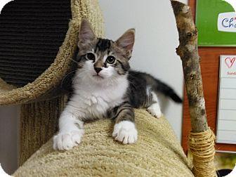 Domestic Mediumhair Kitten for adoption in Sarasota, Florida - Hulk