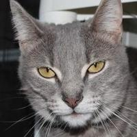 Adopt A Pet :: Shea - Venice, FL