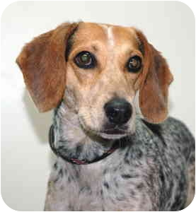 Beagle Dog for adoption in Port Washington, New York - Lester