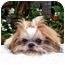 Photo 2 - Shih Tzu Puppy for adoption in Los Angeles, California - PIPER