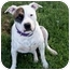 Photo 1 - Pointer/American Bulldog Mix Dog for adoption in Sacramento, California - Spartos