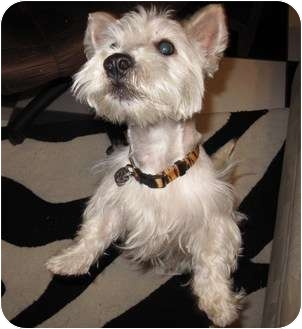 Westie, West Highland White Terrier Dog for adoption in Frisco, Texas - Lucky