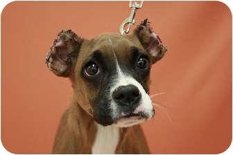 Boxer/Italian Greyhound Mix Puppy for adoption in Broomfield, Colorado - Rosie
