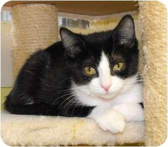 Domestic Shorthair Kitten for adoption in Byron Center, Michigan - Cari