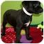 Photo 4 - American Bulldog/Labrador Retriever Mix Puppy for adoption in Struthers, Ohio - Uggs