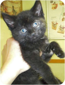 Domestic Shorthair Kitten for adoption in Mt. Prospect, Illinois - Twister