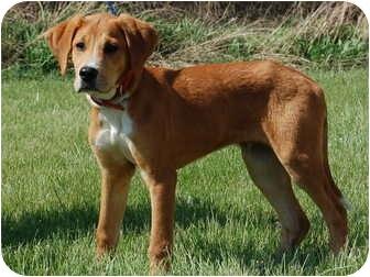 Labrador Retriever Mix Puppy for adoption in North Judson, Indiana - Frank