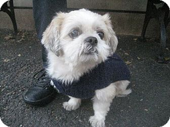 Shih Tzu Dog for adoption in Long Beach, New York - Charles