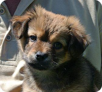 Pomeranian/Cocker Spaniel Mix Puppy for adoption in white settlment, Texas - Bear