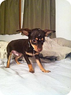 Chihuahua Puppy for adoption in Chicago, Illinois - STANLEY