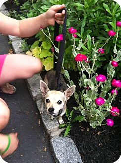 Chihuahua Mix Dog for adoption in Shirley, New York - Precious
