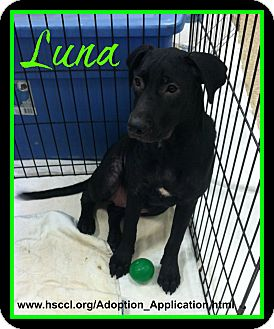 Labrador Retriever/Australian Cattle Dog Mix Dog for adoption in Plano, Texas - Luna