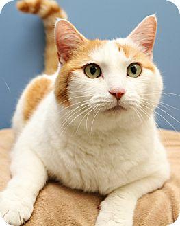 Domestic Shorthair Cat for adoption in Bellingham, Washington - Rocket