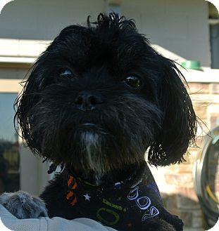 Shih Tzu/Lhasa Apso Mix Dog for adoption in white settlment, Texas - Britches