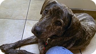 Mountain Cur Mix Dog for adoption in Clarksville, Tennessee - Lacey