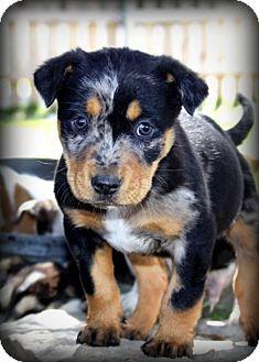 Dachshund/Australian Cattle Dog Mix Puppy for adoption in Weatherford, Texas - *SUSU*