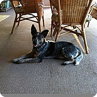 Adopt A Pet :: Becca - Conway, AR