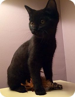 Domestic Shorthair Kitten for adoption in Bloomington, Indiana - Maya