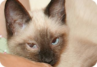 Siamese Kitten for adoption in Whittier, California - Molly