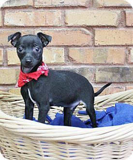 Italian Greyhound/Chihuahua Mix Puppy for adoption in Benbrook, Texas - Link